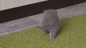Le petit chaton joue sur un tapis vert banque de vidéos
