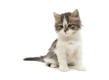 Le petit chaton pelucheux se repose sur un plan rapproché blanc de fond Photos stock