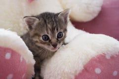Le petit chaton tricolore avec des yeux bleus se repose sur l'ours blanc de jouet Image libre de droits