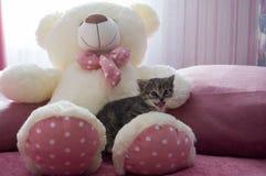 Le petit chaton tricolore avec des yeux bleus se repose sur l'ours blanc de jouet Image stock