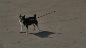 Le petit chien aboie étroitement après l'appareil-photo pendant quelque temps au soleil HD banque de vidéos