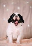 Le petit chien baîllant Images stock