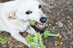 Le petit chien blanc mange du brocoli photo libre de droits