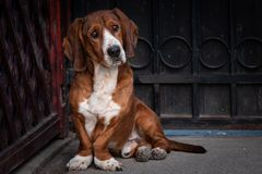 Le petit chien brun mignon défend la porte de la maison photographie stock