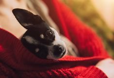 Le petit chien est passionné sous la veste du ` s de maîtresse La jeune fille se repose avec un chien sur le sofa Photos libres de droits
