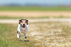 Le petit chien fonctionne et vole au-dessus d'un pr? vert au printemps Jack Russell Terrier Hound 10 ann?es images libres de droits