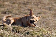 Le petit chien mignon de mélange de chiwawa de Rat terrier se situe dans l'herbe et mâche le bâton en bois photos stock