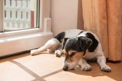 Le petit chien mignon drôle de Jack Russell Terrier se trouve du côté au sol photo stock