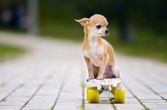 Le petit chien roux de chiwawa se reposant sur une planche à roulettes blanche avec les roues blanches Photographie stock