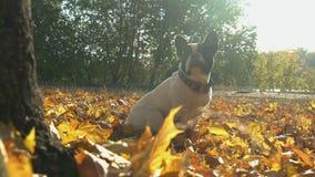 Le petit chien se repose dehors en septembre banque de vidéos