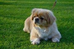 Le petit chien se situe dans le pré Image libre de droits