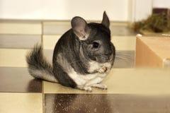 Le petit chinchilla gris dans la maison photo libre de droits