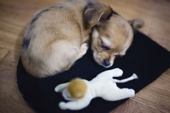 Le petit chiot de chiwawa dort sur le plancher avec son jouet Photographie stock libre de droits