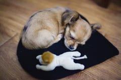 Le petit chiot de chiwawa dort sur le plancher avec son jouet Photos libres de droits