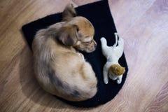 Le petit chiot de chiwawa dort sur le plancher avec son jouet Photos stock