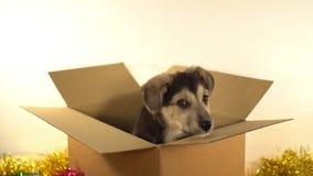 Le petit chiot se repose dans la boîte de expédition avec des décorations de Noël et de nouvelle année Images stock