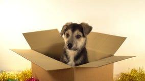 Le petit chiot se repose dans la boîte de expédition avec des décorations de Noël et de nouvelle année Image libre de droits