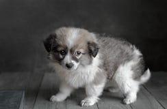 Le petit chiot se tient sur un fond gris-foncé Photo libre de droits