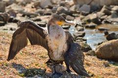 Le petit cormoran d'Azov, sèche ses ailes, sur la plage, dans la perspective du sable de mer, des pierres photographie stock libre de droits