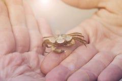Le petit crabe a attrapé d'une plage tenue dans des mains du ` un s d'homme Images stock