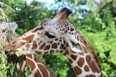 Le petit déjeuner de la girafe Photographie stock