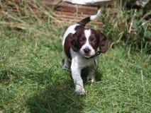 Le petit foie très mignon et le travail blanc dactylographient le chiot de chien de chasse d'animal familier d'épagneul de spring Photo libre de droits