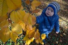 Le petit garçon déchire des feuilles de l'arbre jaune images stock