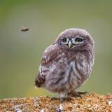 Le petit hibou se tenant sur en pierre et regardant une abeille de vol Image libre de droits