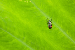 Le petit insecte sur le fond vert Photo libre de droits