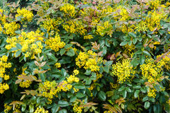 Le petit jaune fleurit le mahonia Images stock