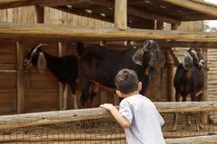 Le petit jeune garçon regarde les chèvres au-dessus de la barrière Photos stock