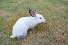 Le petit lapin blanc mignon avec le gris entend, marche sur l'herbe verte photo libre de droits
