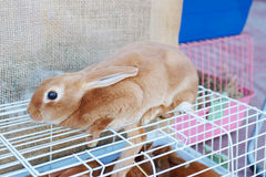 Le petit lapin rouge de main se repose sur le globule blanc Photo stock