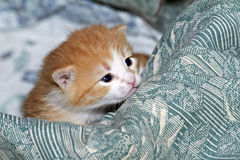 Le petit minou observe grand ouvert regardant le grand monde du chat pelucheux rouge de yeux de joie d'affection. édredon avec les Photographie stock libre de droits