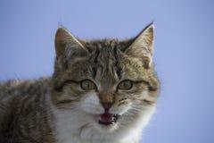 le petit minou rayé miaulant regarde la caméra et demande la consommation photographie stock libre de droits