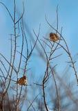 Le petit moineau sur les branches Image stock
