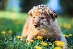 Le petit morveux du lion africain explore le monde Photo libre de droits