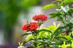 Le petit oiseau minuscule est tenant et mangeant le carpelle de la fleur rouge de transitoire photographie stock libre de droits