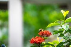 Le petit oiseau minuscule est tenant et mangeant le carpelle de la fleur rouge de transitoire images libres de droits
