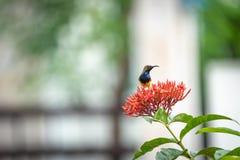 Le petit oiseau minuscule est tenant et mangeant le carpelle de la fleur rouge de transitoire photo libre de droits