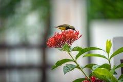 Le petit oiseau minuscule est tenant et mangeant le carpelle de la fleur rouge de transitoire photo stock