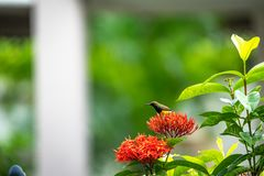 Le petit oiseau minuscule est tenant et mangeant le carpelle de la fleur rouge de transitoire image stock