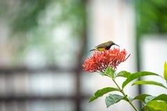 Le petit oiseau minuscule est tenant et mangeant le carpelle de la fleur rouge de transitoire images stock