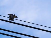 Le petit oiseau a répandu ses ailes sur les fils Images stock