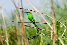 Le petit oiseau vert de mangeur d'abeille Image stock