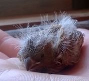 Le petit oisillon sans défense est devenu chaud par la chaleur de la paume humaine Photographie stock
