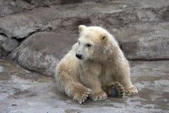 Le petit ours blanc Images libres de droits