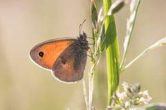 Le petit pamphilus de Coenonympha de bruyère de papillon sur l'herbe égrappe Photo libre de droits