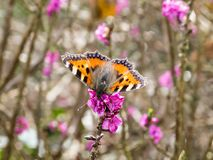Le petit papillon d'écaille était perché sur une branche de buisson photographie stock libre de droits