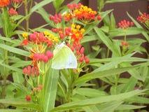 Le petit papillon de jaune d'arbre suçant le nectar de la fleur de sang Images libres de droits